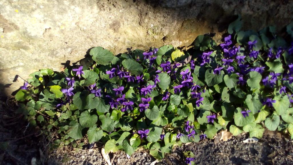 Erbe di campo viole
